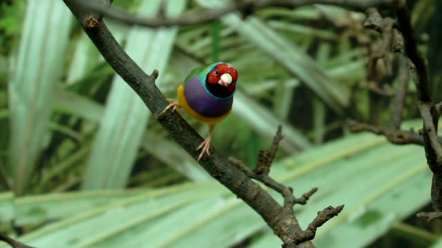 Exotic little colorful pet bird Lady Gouldian finch jumping from tree branch