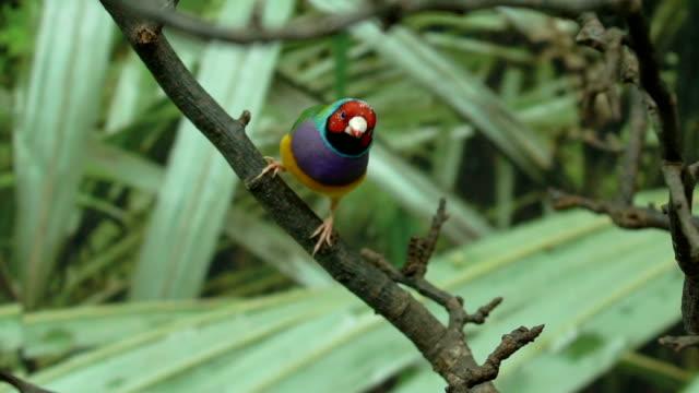 vidéos et rushes de exotiques peu coloré animal oiseaux lady gouldian finch, sautant d'une branche d'arbre - bec