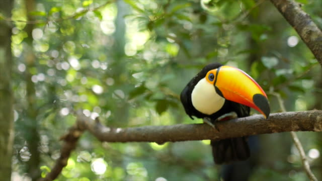 Exotic Toucan Bird Taking Flight in Natural Setting