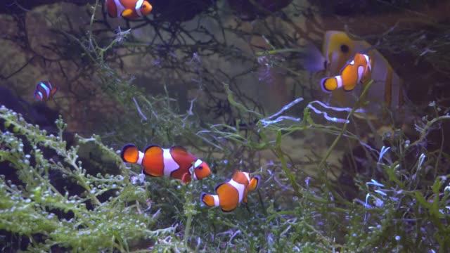 Exotic tropical Clownfish in blue water of aquarium video