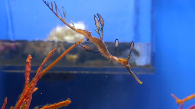 青い水の中泳いでエキゾチックな熱帯のタツノオトシゴ - 竜点の映像素材/bロール