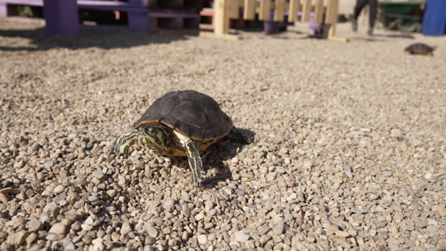 Exotic turtle, exploring the outdoor of a animal rescue center association