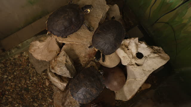 Exotic turtles, having a symbiotic relationship in the aquarium