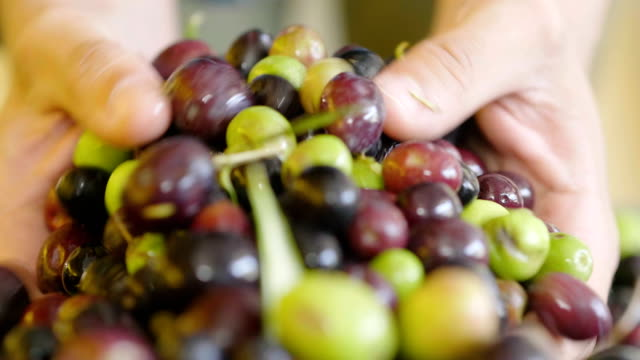 expert hand of quality controller of italian olives to get perfect tasty special oil - olio d'oliva video stock e b–roll