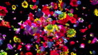 istock Exploding colorful flowers in 4K 955828676