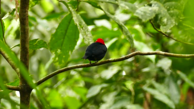 Extended shot of red capped manakin perched and twisting 180 - HD