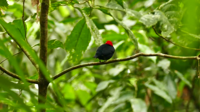 Extended shot of red capped manakin perched and twisting 180