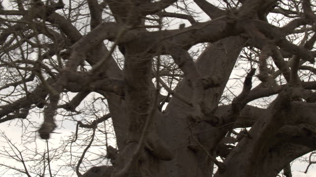 CLOSE UP: Extensive twisted baobab branches against cloudy sky before rain video