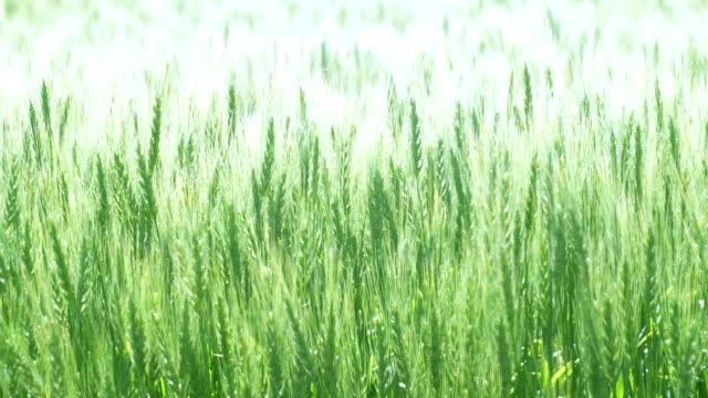 北海道の豊富な麦畑 - 夏点の映像素材/bロール
