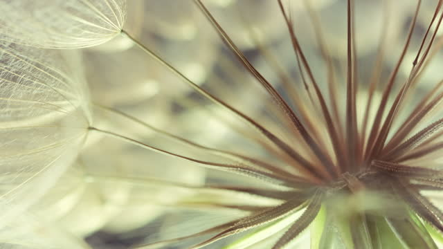 Extreme Close up of a Dandelion