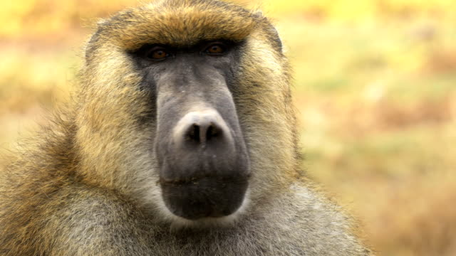 extreme close up of an olive baboon at amboseli