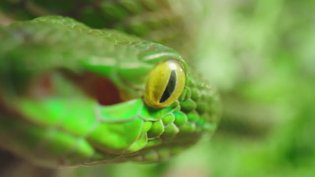 SLO MO Extreme close up shot of a green snake climbing on a branch Slow motion extreme close up shot of a dangerous green snake climbing on a branch of a tree. Shoot in 8K resolution. poisonous stock videos & royalty-free footage