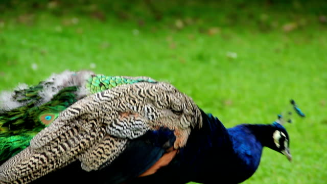 Extreme close-up blue Indian peacock, walking colorful bird. Beautiful shot of Europe, culture and landscapes. Traveling sightseeing, tourist views landmarks of Czech Republic. World travel, west European trip cityscape, outdoor shot video