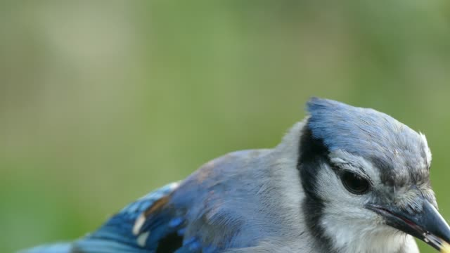 Extreme closeup of Blue Jay bird with black eye and bright blue feathers
