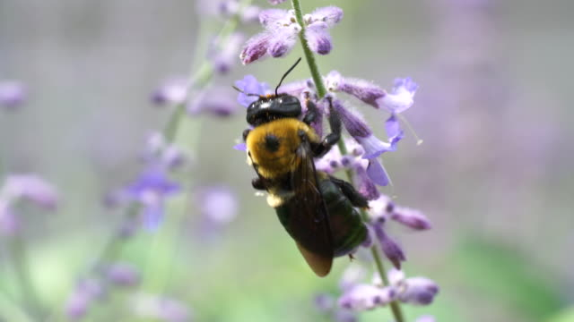 extrem närbild av snickare bee på salvia blomma makro - pollinering bildbanksvideor och videomaterial från bakom kulisserna