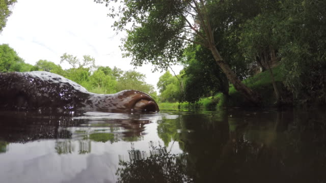 Extreme close-up of hippo face in river video
