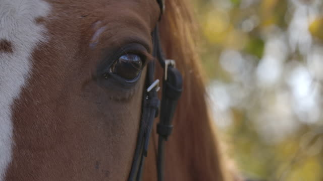Extreme close-up of the eye of brown horse with white facial markings. Graceful animal standing in the autumn forest in sunlight. Cinema 4k footage ProRes HQ.
