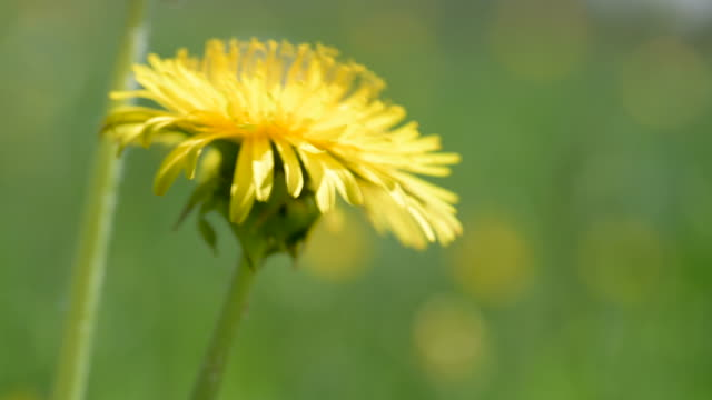 Extreme macro shot of a yellow dandelion blossom on a green spring meadow in the wind