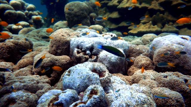 Extreme Summer Heat Bleaching of Sarcophyton Coral (Phylum Cnidaria) (Anthozoa) Desolated Environmental Damage due to Global Warming.  Ko Haa, Andaman Sea, Krabi, Thailand. video