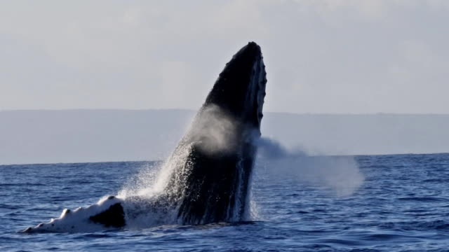 Extremely rare shot of a full Humpback Whale breach Extremely rare shot of a full Humpback Whale breach. Super slow motion. hawaii islands stock videos & royalty-free footage