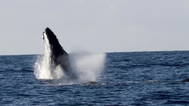 extremely rare shot of a full humpback whale breach - saltare video stock e b–roll