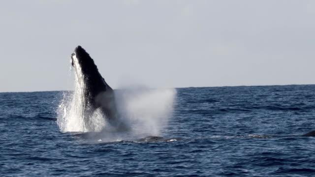 vídeos de stock e filmes b-roll de extremely rare shot of a full humpback whale breach - oceano pacífico
