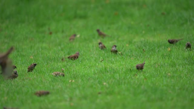 exuberant sparrow group find and eat food on the grasses floor / ground in the garden and park.