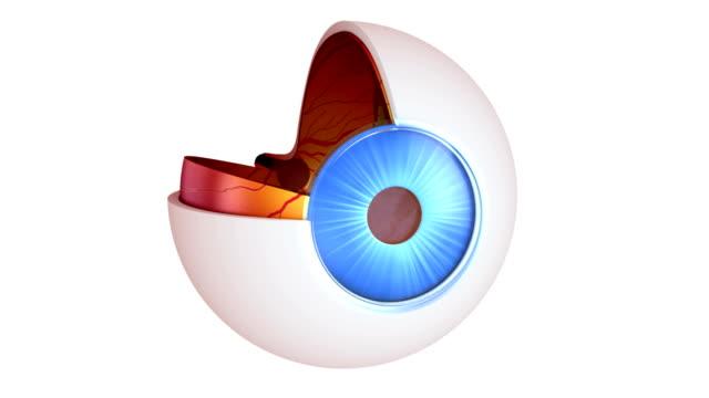 目の部位の内部構造白で分離 ビデオ