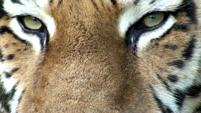 eye der tiger - tierisches auge stock-videos und b-roll-filmmaterial