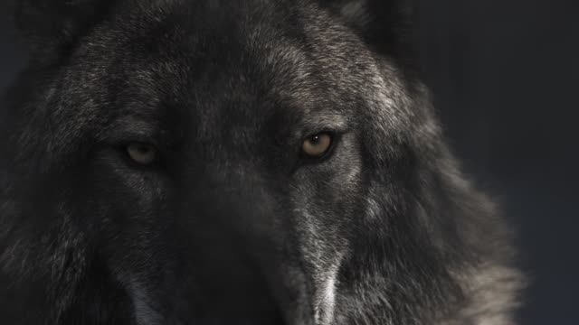 eyes of black wolf in black cave with shadows from the branches of tree at his muzzle - lupo video stock e b–roll