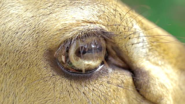 Eyes of Brow-antlered deer,Close-up video