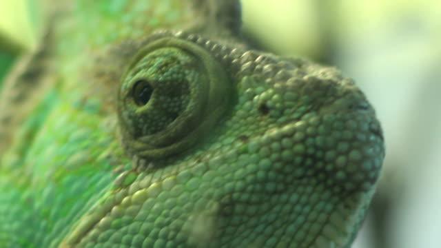 augen von chameleon - faul ast stock-videos und b-roll-filmmaterial
