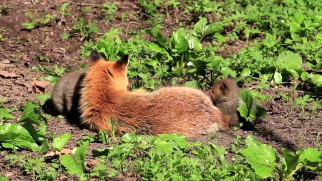 蝦夷赤狐 - キツネ点の映像素材/bロール