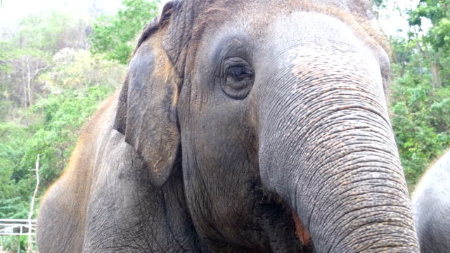 Face of an elephant. The eye blinks, the texture of the skin, the big trunk. Thailand video