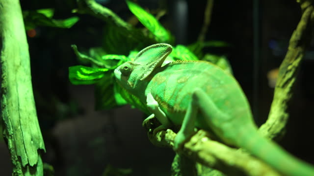 face of green chameleon