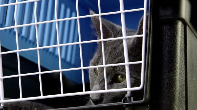 face of relaxed gray cat ready to travel in pet cage carrier - kafes sınırlı alan stok videoları ve detay görüntü çekimi