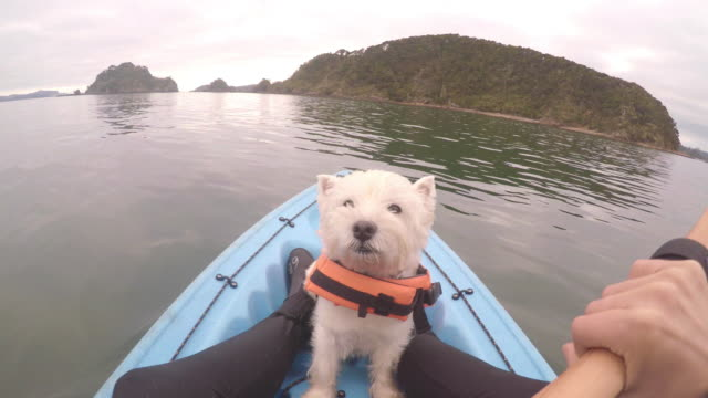 Face of west highland white terrier westie dog kayaking in Paihia, Bay of Islands, New Zealand, NZ Face of west highland white terrier westie dog wearing life jacket kayaking in Paihia, Bay of Islands, New Zealand, NZ purebred dog stock videos & royalty-free footage