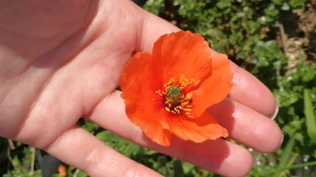 Main femelle sans visage retenant la fleur rouge de pavot se referment vers le haut du jour ensoleillé d'été - Vidéo