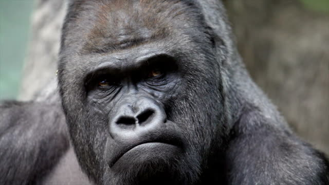 facial gesture and face caring of a gorilla male, severe silverback. - gorilla stock videos and b-roll footage