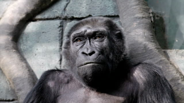 Facial gesture and yawning of an old gorilla female. video