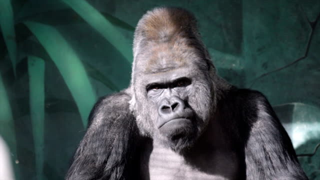 Facial gesture of a gorilla male, severe silverback. video