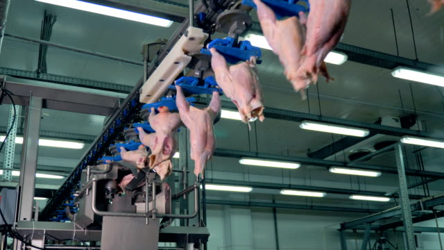 vídeos de stock, filmes e b-roll de um assembly de fábrica para o peito de frango de corte e transporte na planta de processamento de conhecer. 4k. - ave doméstica