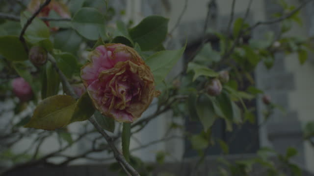 Faded rose moving in the wind at night in front of a scary haunted house in the dark forest. Atmosphere horror, fear, murder, wild, Halloween Night in RED CAMERA 6K. Close up.