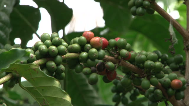 Fairtrade coffee beans at coffee-plantation in Brazil video