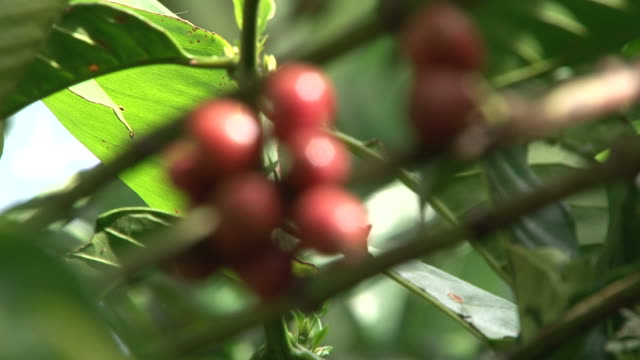 Fairtrade coffee beans at plantation in Brazil video