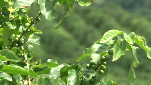 Fairtrade coffee plantation in Brazil video
