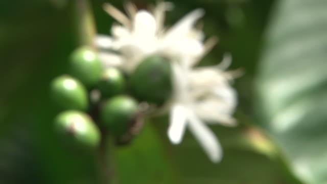 Fairtrade coffee plantation in Uganda video
