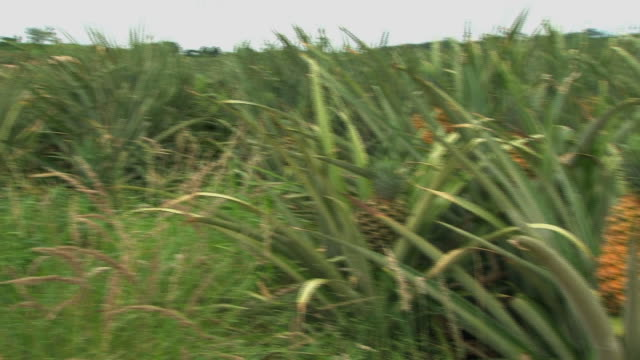 Fairtrade pineapple ready for harvest video