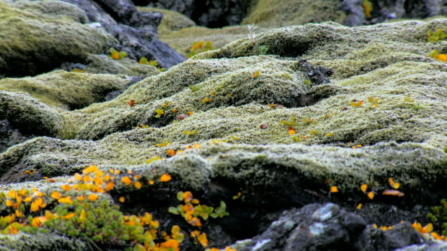 fairytale landscape with stones covered green moss and bright yellow leaves of arctic plant video