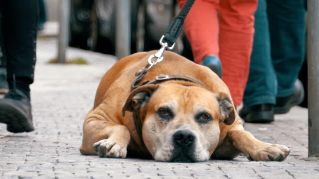 Treuen elende Hund liegend auf dem Bürgersteig und Besitzer warten. Die Beine der Masse nicht gleichgültig Menschen vorbei – Video